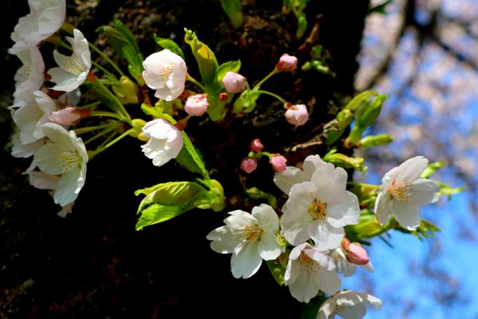 Springtime Tree Blooms